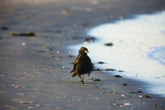 在海滩的一只乌鸦 免版税库存照片