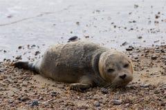 在海滩的一只公用印章小狗 免版税库存照片