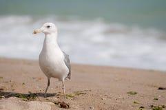 在海滩的一只海鸥 库存图片
