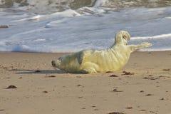 在海滩的一只灰色小海豹 库存照片