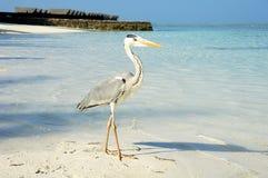 在海滩的一只灰色苍鹭。 免版税库存图片
