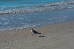 在海滩的一只鸟在印地安岩石在墨西哥湾,佛罗里达靠岸 图库摄影
