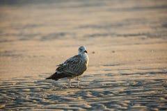 在海滩的一只鸥 免版税库存图片