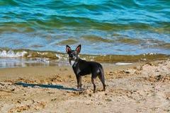 在海滩的一条Llittle狗 免版税库存照片