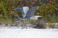 在海滩的伟大蓝色的苍鹭的巢飞行 库存图片