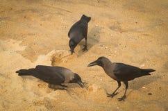 在海滩的三只乌鸦 库存图片
