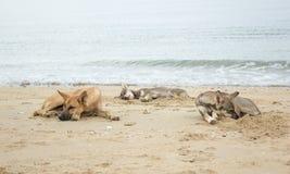 在海滩的三条狗睡眠 库存照片