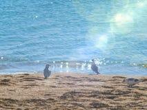 在海滩的两只海鸥在海附近 库存图片