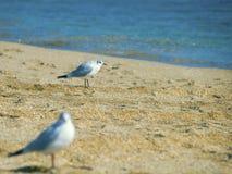 在海滩的两只逗人喜爱的海鸥在海附近 免版税库存照片