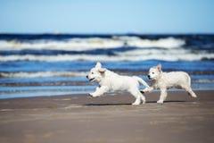 在海滩的两只金毛猎犬小狗 库存图片