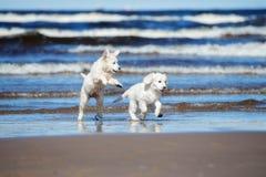 在海滩的两只金毛猎犬小狗 免版税库存照片