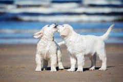 在海滩的两只金毛猎犬小狗 图库摄影