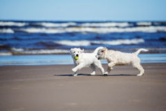在海滩的两只金毛猎犬小狗 免版税图库摄影