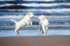 在海滩的两只金毛猎犬小狗 库存照片