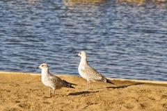 在海滩的两只鸽子 免版税库存照片