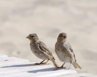 在海滩的两只麻雀 免版税库存照片