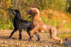 在海滩的两条湿皇家长卷毛狗 库存图片