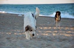 在海滩的两条狗 免版税库存图片