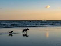在海滩的两条狗 免版税库存照片