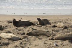 在海滩的两母亲封印 库存图片