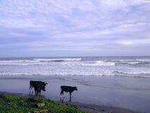 在海滩的乌鸦印度洋 免版税库存图片