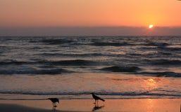 在海滩的乌鸦在日落 库存照片