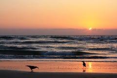在海滩的乌鸦在日落 免版税图库摄影