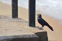 在海滩的乌鸦 免版税库存图片