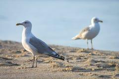 在海滩的二只海鸥 图库摄影