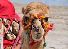 在海滩的五颜六色的骆驼在Tunisie 库存图片