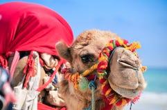 在海滩的五颜六色的骆驼 免版税库存照片
