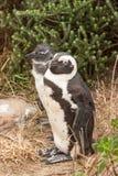 在海滩的企鹅大西洋在南非 图库摄影