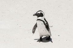 在海滩的企鹅 库存图片