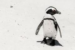 在海滩的企鹅 图库摄影