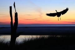 在海滩的伟大蓝色的苍鹭的巢着陆在日落 免版税库存图片