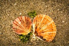 在海滩的俏丽的壳 库存图片
