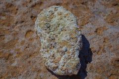 在海滩的僵化的贝壳 免版税库存图片