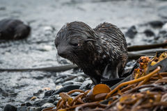 在海滩的全身湿透的南极海狗小狗 免版税库存图片
