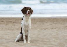 在海滩的公不列塔尼的狗 库存照片