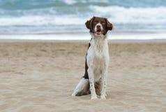 在海滩的公不列塔尼的狗 免版税库存照片