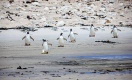 在海滩的六只Gento企鹅 免版税库存照片