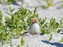 在海滩的共同的燕鸥小鸡 库存图片