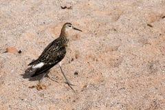 在海滩的出王牌/Philomachus pugnax 库存照片