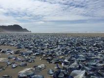 在海滩的刺胞动物 库存图片