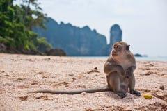 在海滩的单独猴子 免版税库存照片