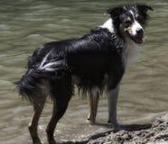 在海滩的博德牧羊犬 库存图片