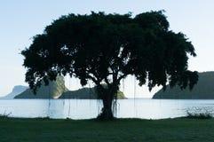 在海滩的印度榕树 库存图片