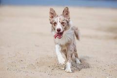 在海滩的可爱的逗人喜爱的博德牧羊犬小狗 库存图片