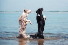 在海滩的可爱的逗人喜爱的博德牧羊犬小狗 库存照片