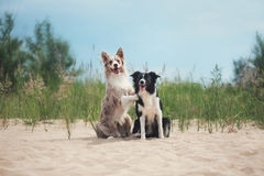 在海滩的可爱的逗人喜爱的博德牧羊犬小狗 免版税库存照片